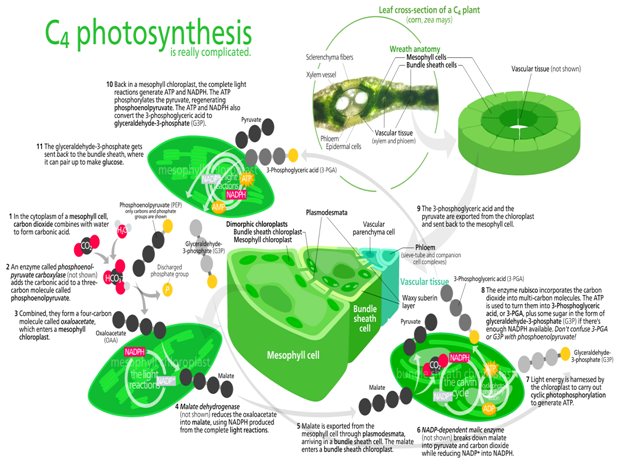 C4 Rice- Bioengineering Food Security through Biotechnology' – The ...
